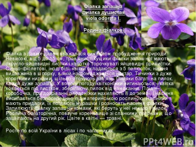 Фіалка з давніх-давен вважалася символом пробудження природи. Невисокі, від 5 до 15 см, трав'янисті кущики фіалки запашної мають округло-яйцевидні листки і коротко торочкуваті яйцевидні прилистки. Синьо-фіолетові, іноді білі, квітки складаються з …