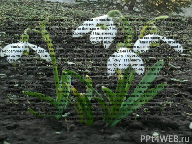Перше весняне диво природи - це підсніжники та проліски. Це два брати, які відрізняються лише кольором: підсніжник - білий, а пролісок - блакитний. Вони одними з перших відкривають карнавал цвітіння весни. Чому такі тендітні, маленькі квіти не …