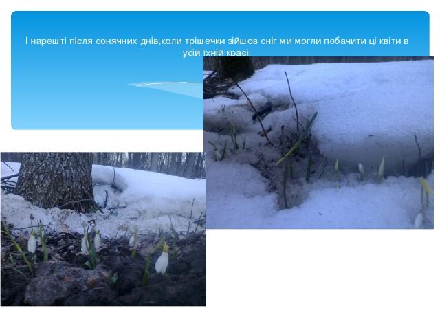 І нарешті після сонячних днів,коли трішечки зійшов сніг ми могли побачити ці квіти в усій їхній красі: