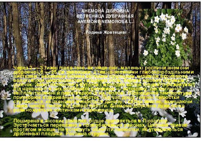 Через 2 — 3 тижні після того, як зійде сніг, маленькі рослини анемони дібровної, 8 — 25 см заввишки, з темно-зеленими глибоко-роздільними листками і великими білими квітками суцільним килимом вкривають вологі місця широколистих і мішаних лісів, бе…