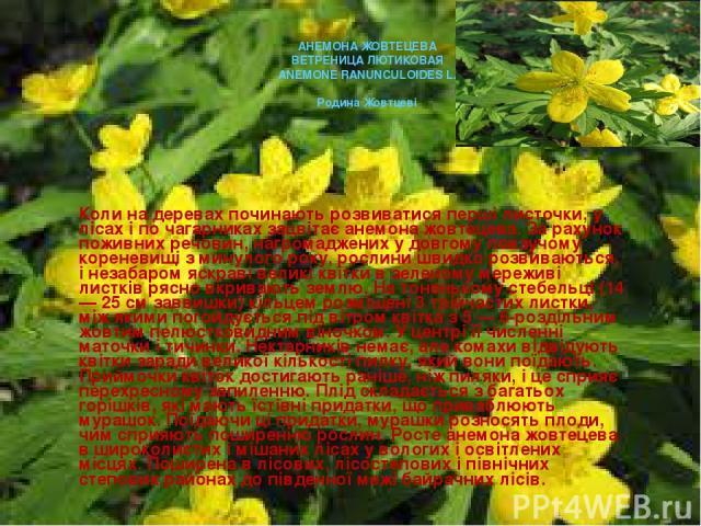 Коли на деревах починають розвиватися перші листочки, у лісах і по чагарниках зацвітає анемона жовтецева. За рахунок поживних речовин, нагромаджених у довгому повзучому кореневищі з минулого року, рослини швидко розвиваються, і незабаром яскраві вел…