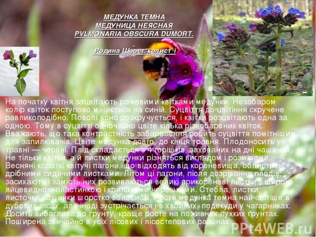 На початку квітня зацвітають рожевими квітками медунки. Незабаром колір квіток поступово міняється на синій. Суцвіття до цвітіння скручене равликоподібно. Поволі воно розкручується, і квітки розцвітають одна за одною. Тому в суцвітті одночасно цві…