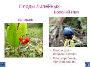 Плоды Лилейных Плод ягода – ландыш, купена. Плод коробочка- тюльпан,рябчик. Воро