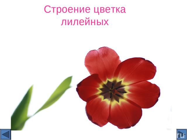 Строение цветка лилейных