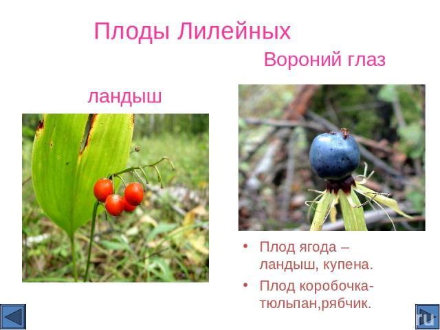 Плоды Лилейных Плод ягода – ландыш, купена. Плод коробочка- тюльпан,рябчик. Вороний глаз ландыш