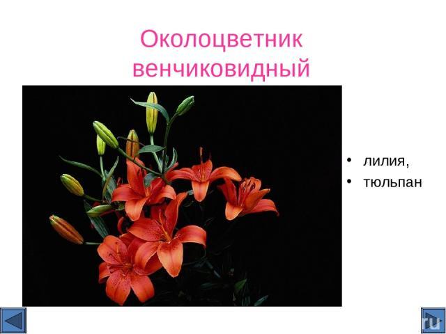 Околоцветник венчиковидный лилия, тюльпан