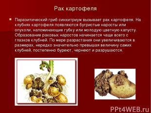 Рак картофеля Паразитический гриб синхитриум вызывает рак картофеля. На клубнях