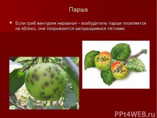 Парша Если гриб вентурия неравная – возбудитель парши поселяется на яблоко, они