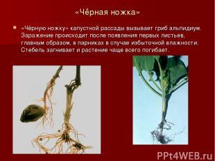 «Чёрная ножка» «Чёрную ножку» капустной рассады вызывает гриб альпидиум. Заражен