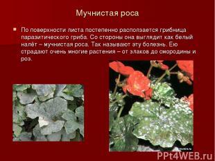 Мучнистая роса По поверхности листа постепенно расползается грибница паразитичес