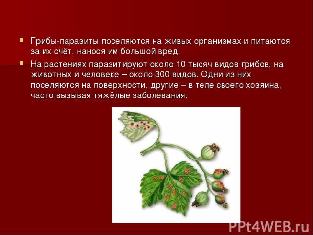 Грибы-паразиты поселяются на живых организмах и питаются за их счёт, нанося им большой вред. На растениях паразитируют около 10 тысяч видов грибов, на животных и человеке – около 300 видов. Одни из них поселяются на поверхности, другие – в теле свое…