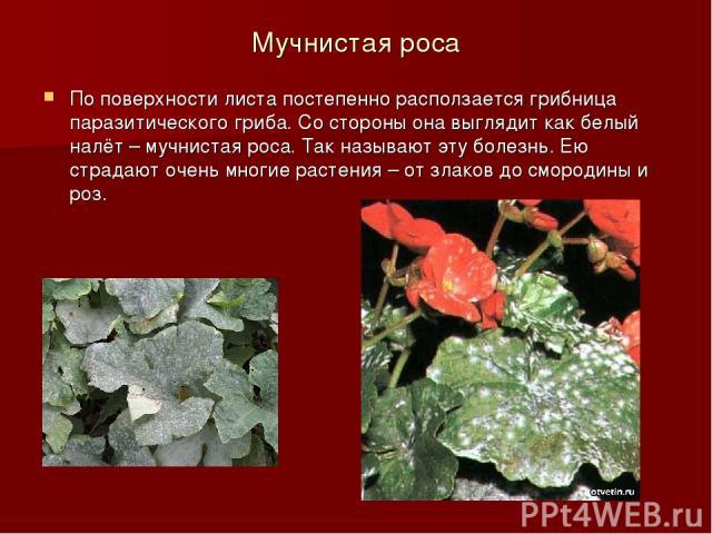 Мучнистая роса По поверхности листа постепенно расползается грибница паразитического гриба. Со стороны она выглядит как белый налёт – мучнистая роса. Так называют эту болезнь. Ею страдают очень многие растения – от злаков до смородины и роз.