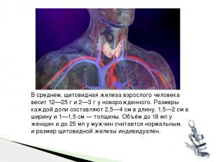 В среднем, щитовидная железа взрослого человека весит 12—25 г и 2—3 г у новорожд