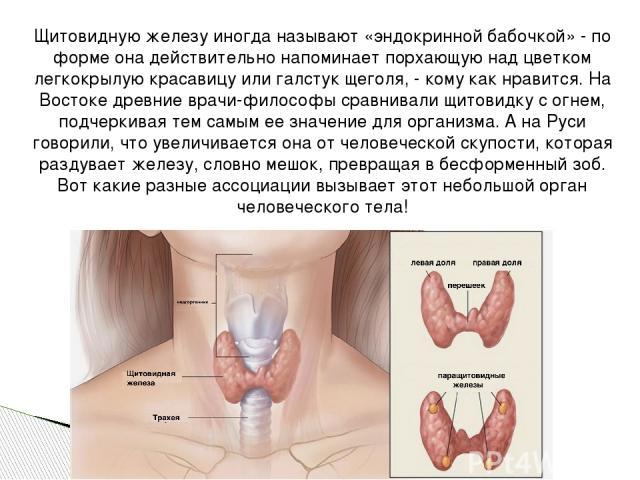 Щитовидную железу иногда называют «эндокринной бабочкой» - по форме она действительно напоминает порхающую над цветком легкокрылую красавицу или галстук щеголя, - кому как нравится. На Востоке древние врачи-философы сравнивали щитовидку с огнем, под…