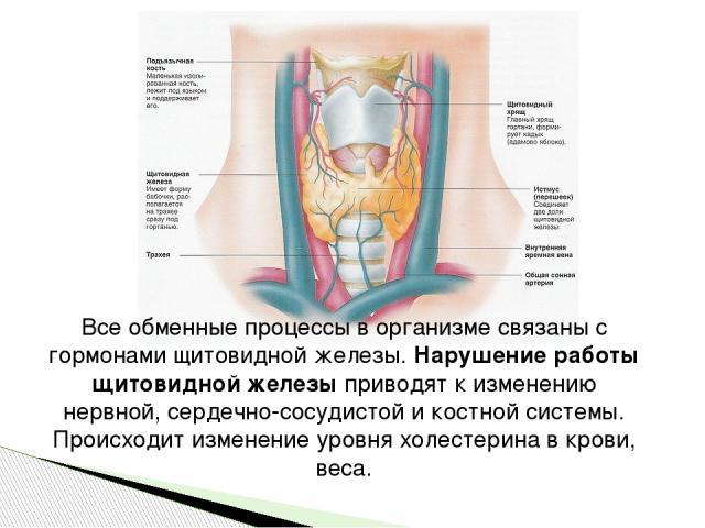 Все обменные процессы в организме связаны с гормонами щитовидной железы.Нарушение работы щитовидной железыприводят к изменению нервной, сердечно-сосудистой и костной системы. Происходит изменение уровня холестерина в крови, веса.
