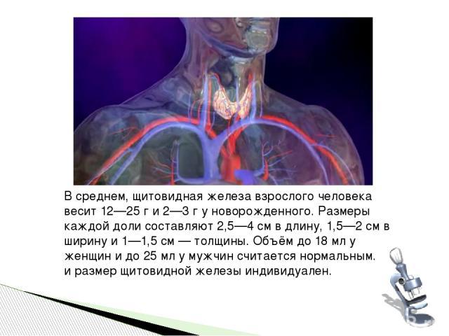 В среднем, щитовидная железа взрослого человека весит 12—25 г и 2—3 г у новорожденного. Размеры каждой доли составляют 2,5—4 см в длину, 1,5—2 см в ширину и 1—1,5 см — толщины. Объём до 18 мл у женщин и до 25 мл у мужчин считается нормальным. Вес и …