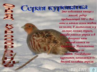 Это небольшая птица с массой, редко превышающей 500 г. Все лето и начало осени ж
