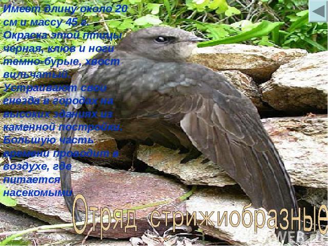 Имеет длину около 20 см и массу 45 г. Окраска этой птицы черная, клюв и ноги темно-бурые, хвост вильчатый. Устраивают свои гнезда в городах на высоких зданиях из каменной постройки. Большую часть времени проводит в воздухе, где питается насекомыми
