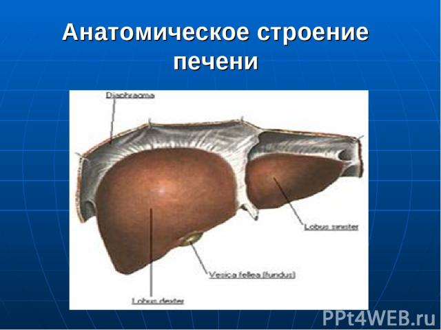 Анатомическое строение печени