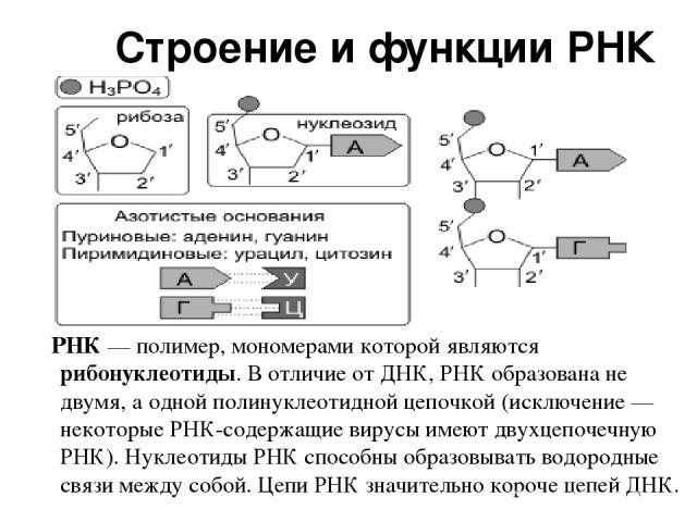 Строение и функции РНК РНК — полимер, мономерами которой являются рибонуклеотиды. В отличие от ДНК, РНК образована не двумя, а одной полинуклеотидной цепочкой (исключение — некоторые РНК-содержащие вирусы имеют двухцепочечную РНК). Нуклеотиды РНК сп…
