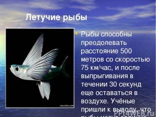 Летучие рыбы Рыбы способны преодолевать расстояние 500 метров со скоростью 75 км