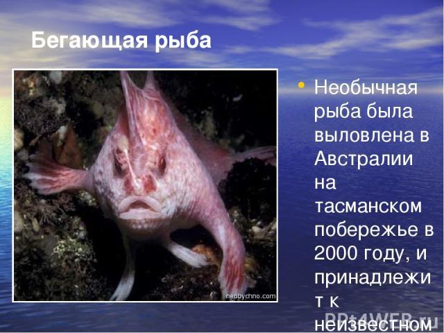 Бегающая рыба Необычная рыба была выловлена в Австралии на тасманском побережье в 2000 году, и принадлежит к неизвестному виду морских жителей. Рыбу прозвали - «хендфиш» из-за плавников при помощи, которых она способна двигаться по дну. Рыба обита…