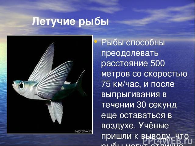 Летучие рыбы Рыбы способны преодолевать расстояние 500 метров со скоростью 75 км/час, и после выпрыгивания в течении 30 секунд еще оставаться в воздухе. Учёные пришли к выводу, что рыбы могут отлично летать, не хуже птиц.