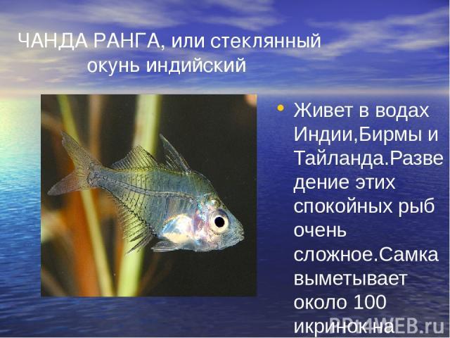 ЧАНДА РАНГА, или стеклянный окунь индийский Живет в водах Индии,Бирмы и Тайланда.Разведение этих спокойных рыб очень сложное.Самка выметывает около 100 икринок на тонкие листочки определенных растений. Крохотных мальков приходится выкармливать (тоже…