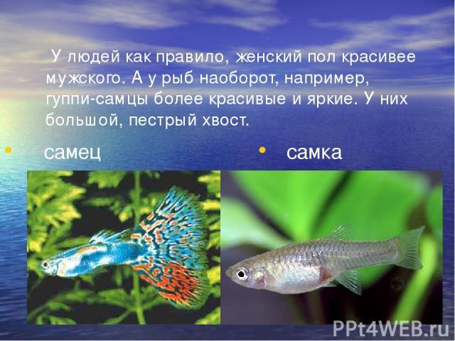 У людей как правило, женский пол красивее мужского. А у рыб наоборот, например, гуппи-самцы более красивые и яркие. У них большой, пестрый хвост. самец самка