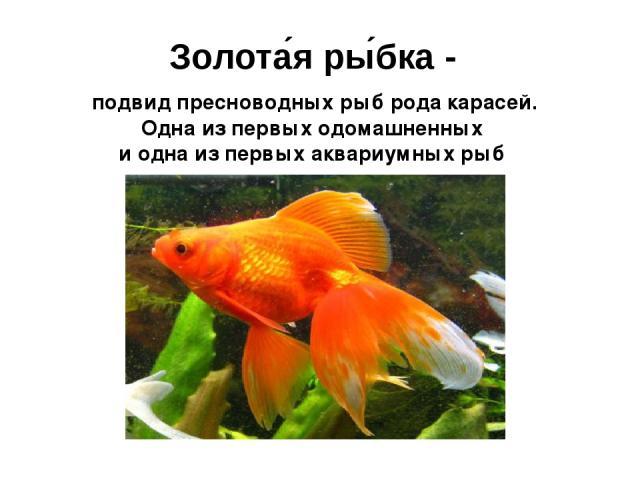 Золота я ры бка - подвид пресноводных рыб рода подвид пресноводных рыб рода карасей. Одна из первых одомашненных и одна из первых аквариумных рыб
