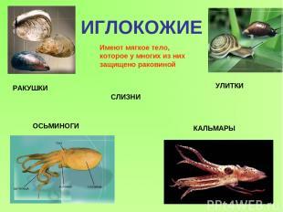 ИГЛОКОЖИЕ Имеют мягкое тело, которое у многих из них защищено раковиной РАКУШКИ