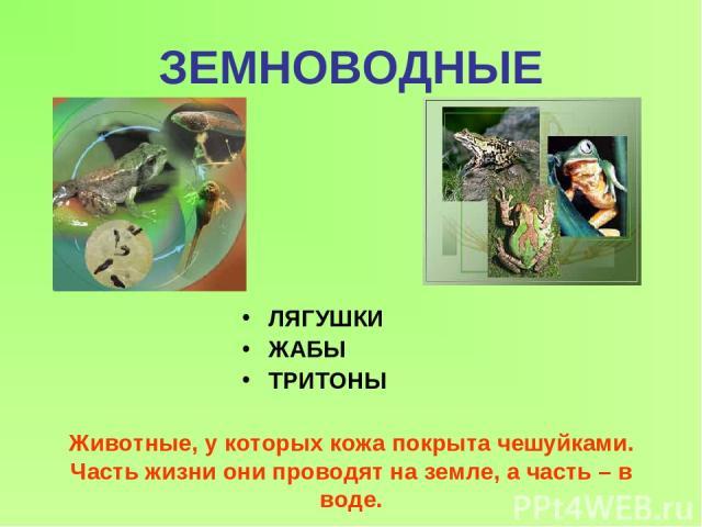 ЗЕМНОВОДНЫЕ ЛЯГУШКИ ЖАБЫ ТРИТОНЫ Животные, у которых кожа покрыта чешуйками. Часть жизни они проводят на земле, а часть – в воде.