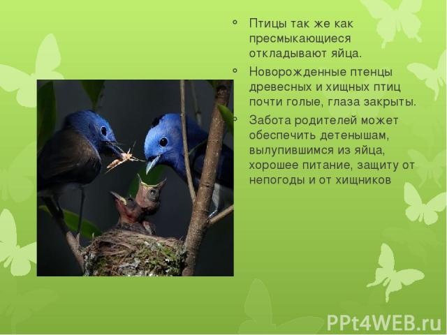Птицы так же как пресмыкающиеся откладывают яйца. Новорожденные птенцы древесных и хищных птиц почти голые, глаза закрыты. Забота родителей может обеспечить детенышам, вылупившимся из яйца, хорошее питание, защиту от непогоды и от хищников