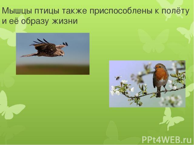 Мышцы птицы также приспособлены к полёту и её образу жизни