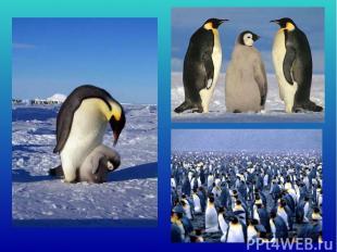 Вантарктиде снег илед, гололед ииней. Несмотря нато, живёт там народ пингвин