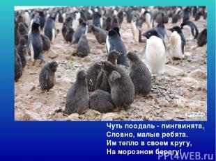 Чуть поодаль - пингвинята, Словно, малые ребята. Им тепло в своем кругу, На мо