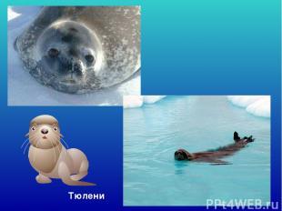 Тюлени Тюлени.