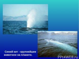 Синий кит - крупнейшее животное на планете. Синий кит - крупнейшее животное на п