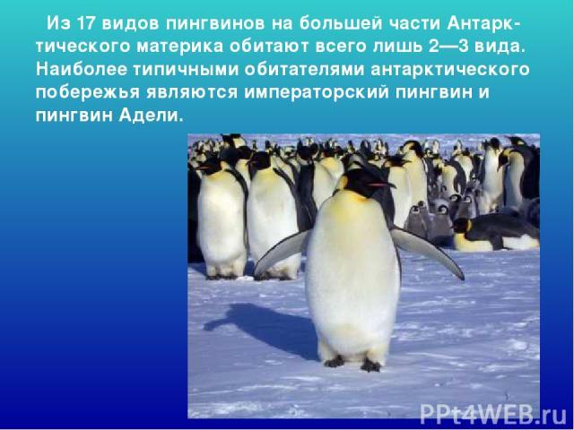 Из 17 видов пингвинов на большей части Антарк-тического материка обитают всего лишь 2—3 вида. Наиболее типичными обитателями антарктического побережья являются императорский пингвин и пингвин Адели. Из 17 видов пингвинов на большей части антарк-тиче…