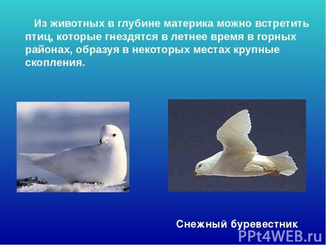 Из животных в глубине материка можно встретить птиц, которые гнездятся в летнее время в горных районах, образуя в некоторых местах крупные скопления. Снежный буревестник Из животных в глубине материка можно встретить птиц, которые гнездятся в летнее…