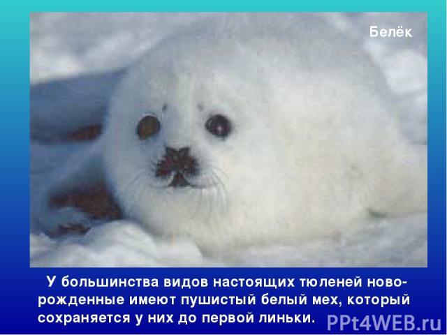 Белёк У большинства видов настоящих тюленей ново-рожденные имеют пушистый белый мех, который сохраняется у них до первой линьки. Белёк. У большинства видов настоящих тюленей ново-рожденные имеют пушистый белый мех, который сохраняется у них до перво…
