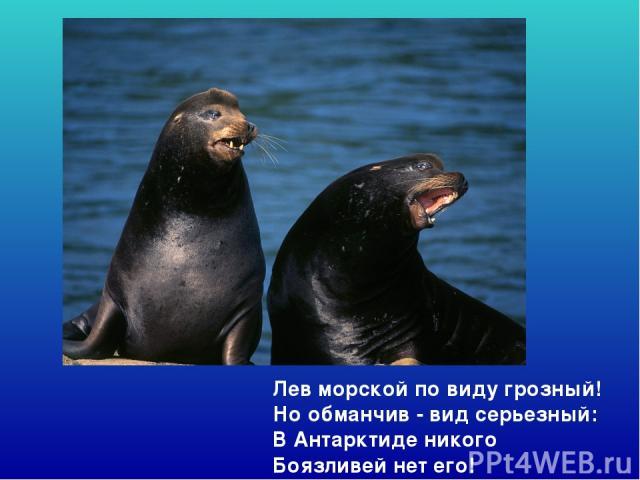 Лев морской по виду грозный! Но обманчив - вид серьезный: В Антарктиде никого Боязливей нет его! Лев морской по виду грозный! Но обманчив - вид серьезный: В антарктиде никого боязливей нет его!