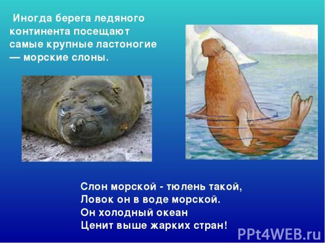 Слон морской - тюлень такой, Ловок он в воде морской. Он холодный океан Ценит выше жарких стран! Иногда берега ледяного континента посещают самые крупные ластоногие — морские слоны. Слон морской - тюлень такой, ловок он в воде морской. Он холодны…