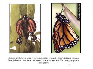 Первое, что бабочка делает, когда вылезет из куколки – она сушит свои крылья. Ве