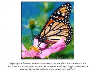 Через сутки, бабочка начинает чувствовать голод. Она садится на цветок и вытягив