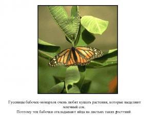 Гусеницы бабочек-монархов очень любят кушать растения, которые выделяют млечный