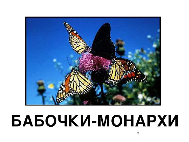 БАБОЧКИ-МОНАРХИ Бабочки-монархи