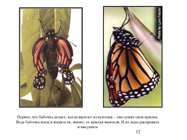 Первое, что бабочка делает, когда вылезет из куколки – она сушит свои крылья. Ведь бабочка жила в жидкости, значит, ее крылья намокли. И их надо расправить и высушить Первое, что бабочка делает, когда вылезет из куколки – она сушит свои крылья. Ведь…