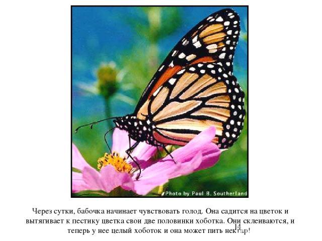 Через сутки, бабочка начинает чувствовать голод. Она садится на цветок и вытягивает к пестику цветка свои две половинки хоботка. Они склеиваются, и теперь у нее целый хоботок и она может пить нектар! Через сутки, бабочка начинает чувствовать голод. …