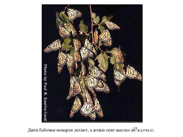 Днём бабочки-монархи летают, а ночью спят высоко на деревьях. Днём бабочки-монархи летают, а ночью спят высоко на деревьях.